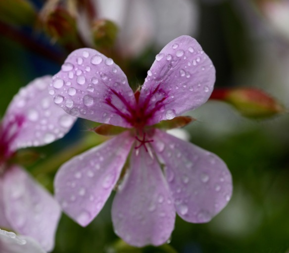 Raindrops on geranium 1