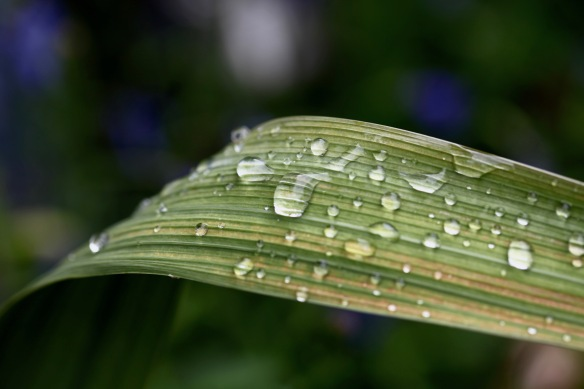Raindrops on gladiolus leaf