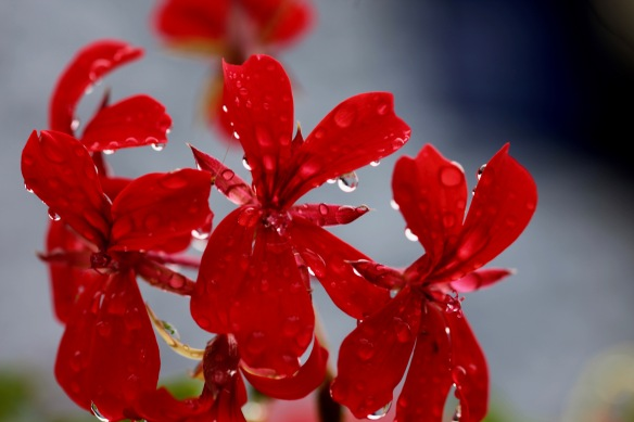 Raindrops on geranium 2