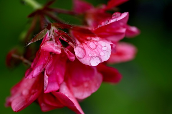 Raindrops on geranium 4