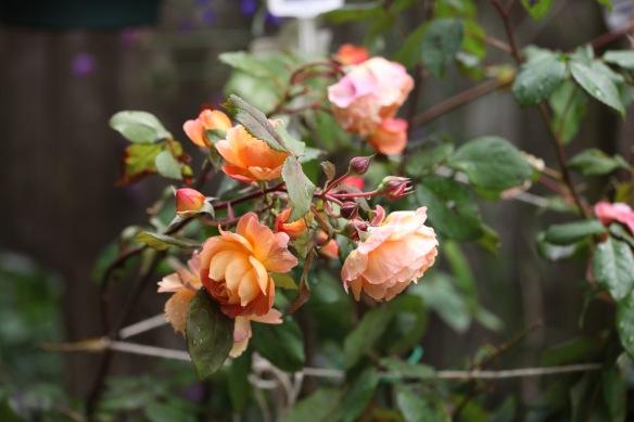 Raindrops on rose Lady Emma Hamilton