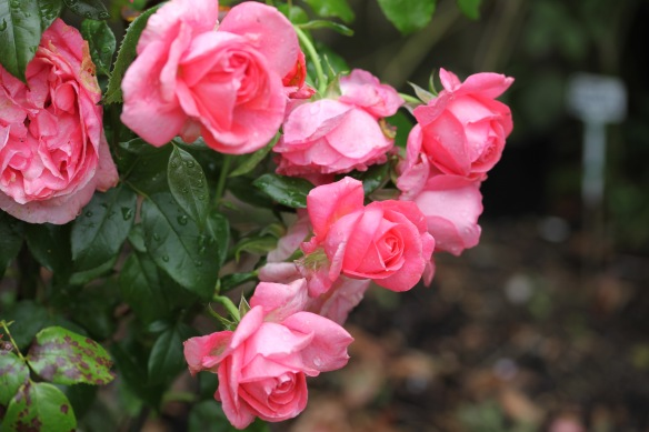 Raindrops on rose Special Anniversary