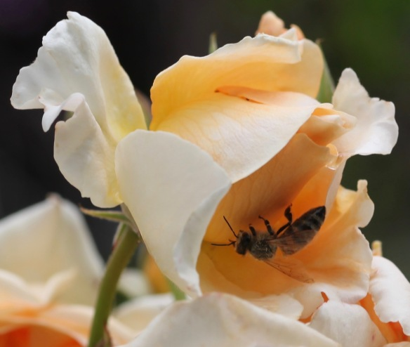 Bee on rose Peach Abundance