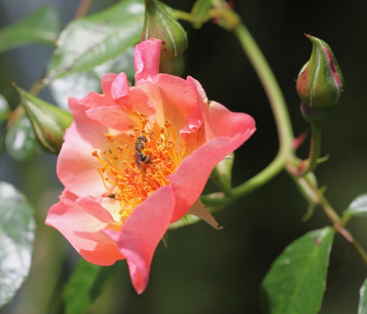 Bee in Summer Wine