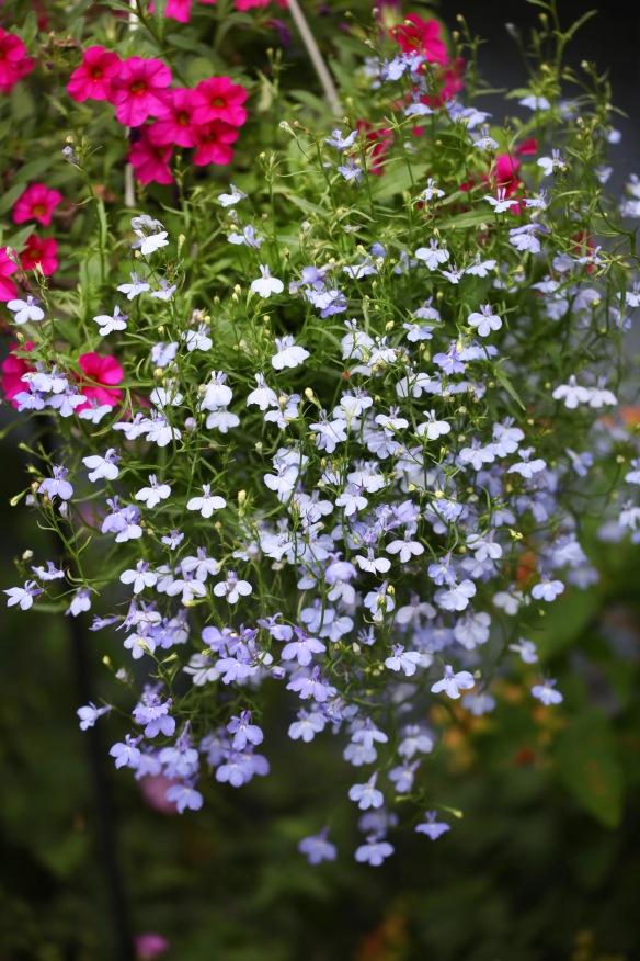 Lobelia and petunias