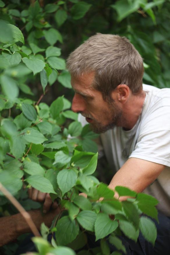 Aaron pruning Philadelphus 1