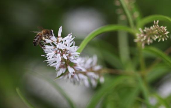 Bee on New Zealand hebe
