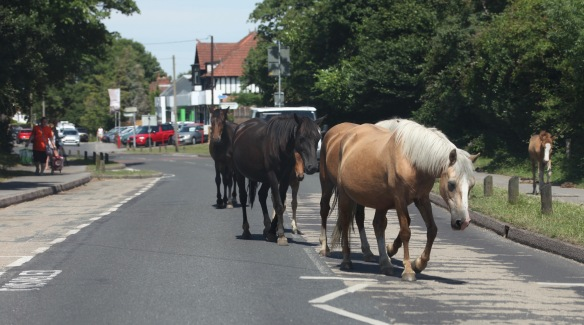 Ponies and foals on road