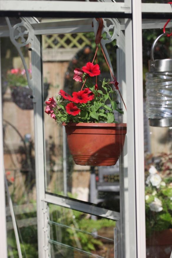 Petunias hanging in greenhouse