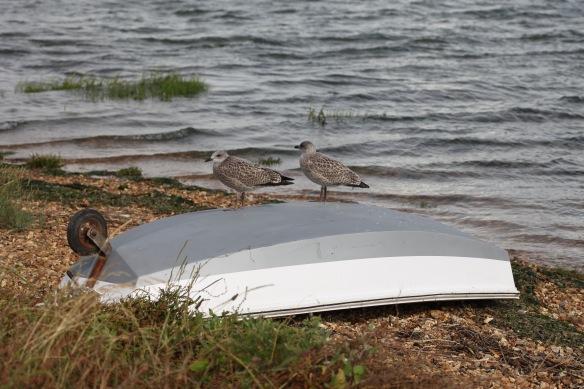 Gulls (juvenile) on upturned boat