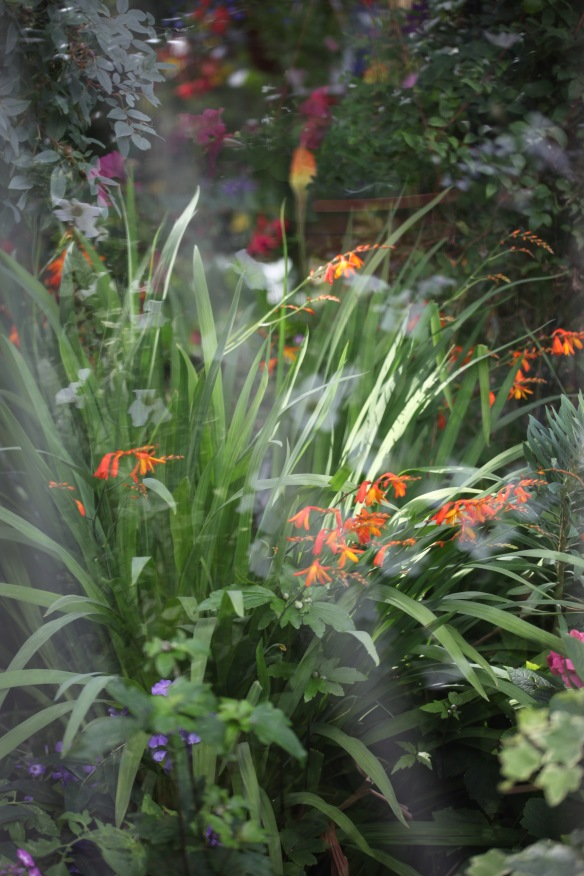 Crocosmia etc through greenhouse window