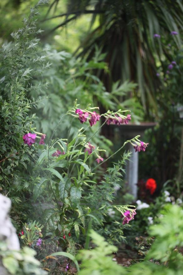 Nicotiana etc through greenhouse window