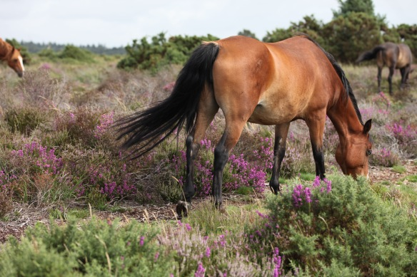 Ponies and heather 1