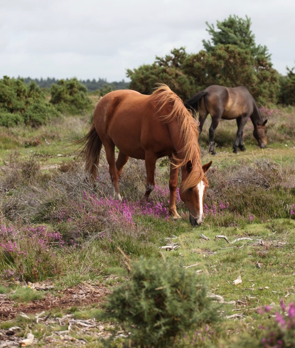Ponies and heather 2