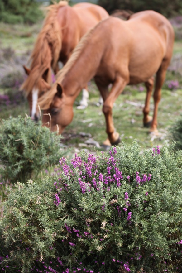 Heather and ponies