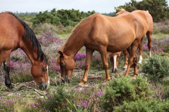 Ponies and heather 3