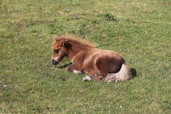 Shetland pony foal