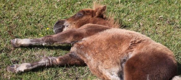 Shetland pony foal 2