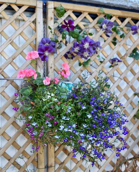 Hanging basket and clematis Star of India
