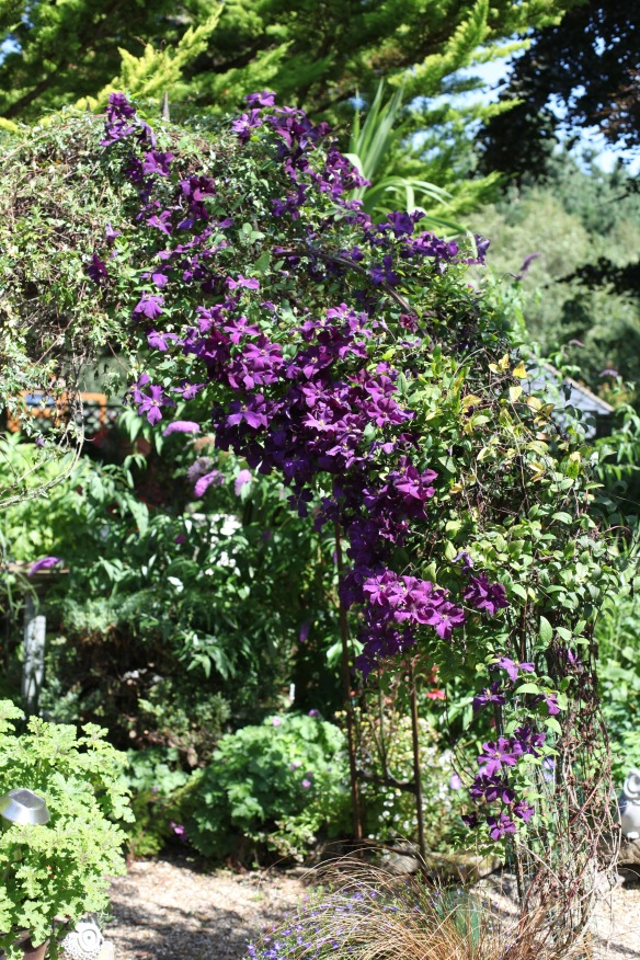 Clematis Polish Spirit and buddleia