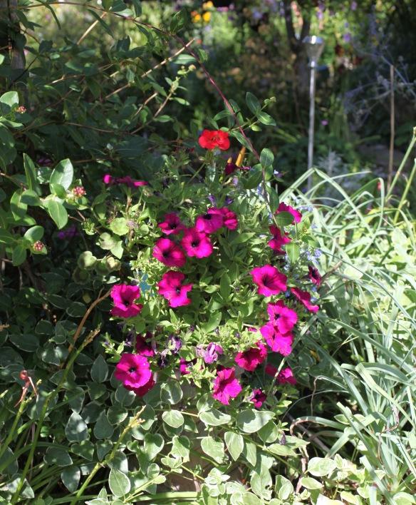 Petunias and geranium