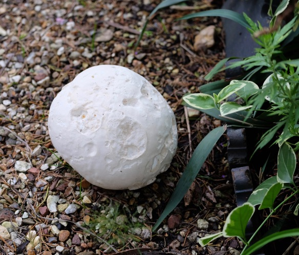 Puffball by Elizabeth