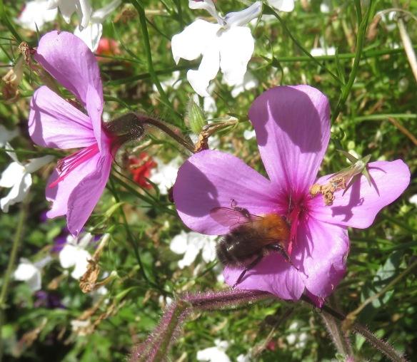 Bee on geranium palmatum