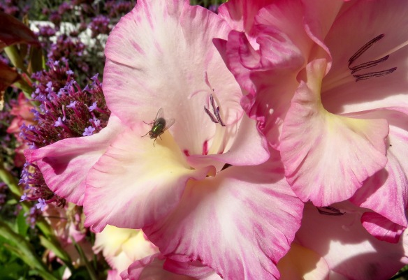 Fly on gladiolus Priscilla