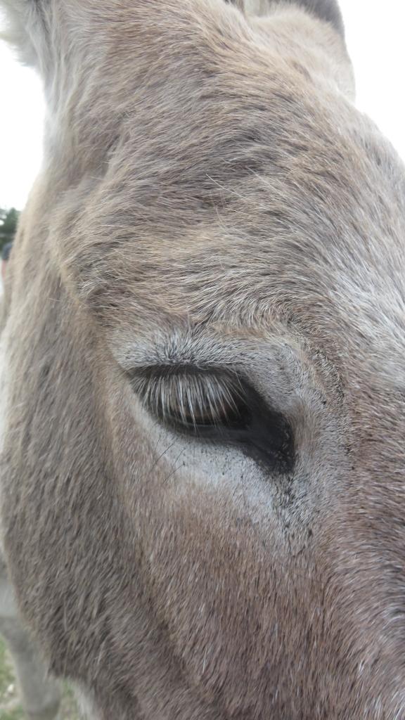 Donkey close-up 1