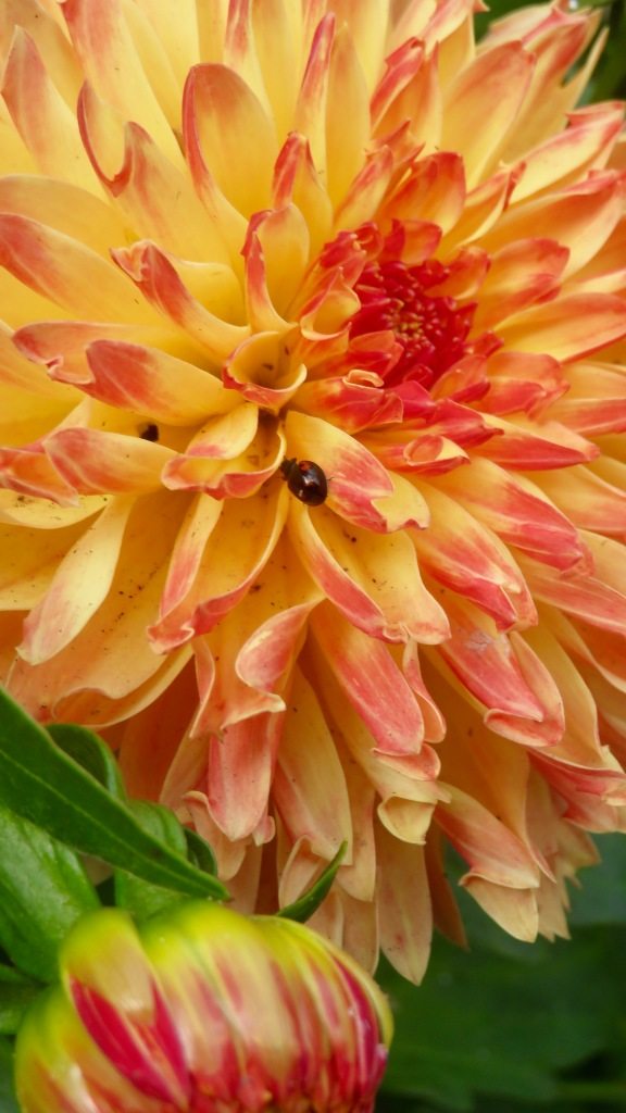 Ladybird on dahlia