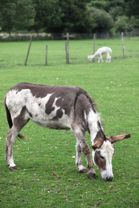 Donkey and Alpaca