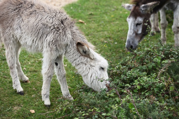 Donkey and foal blackberrying