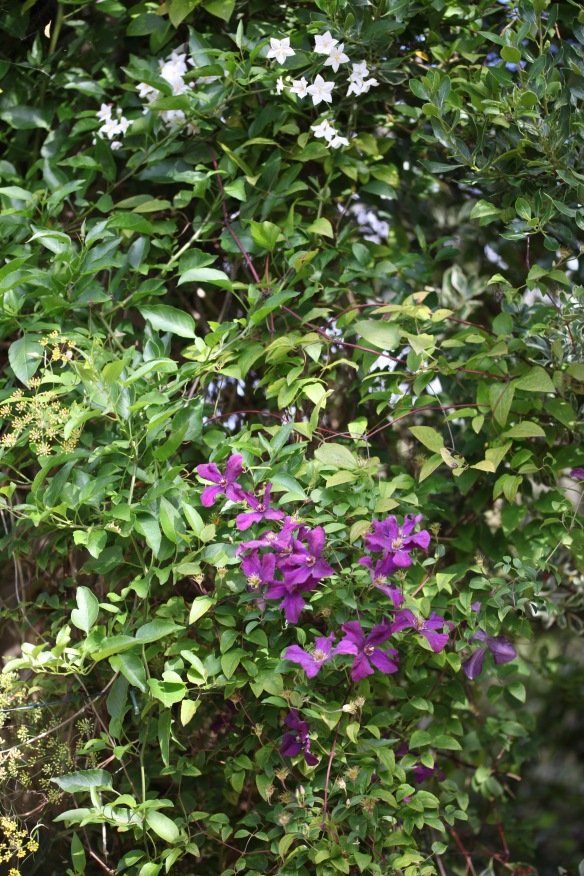 Clematis and Solanum on dead tree