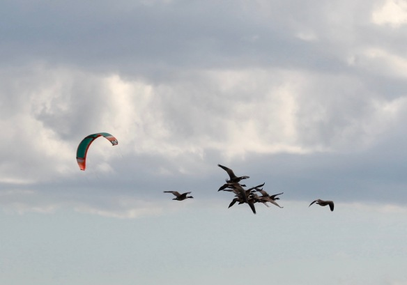 Geese and surf kite