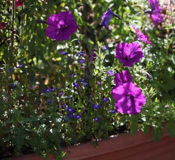 Petunias and lobelia