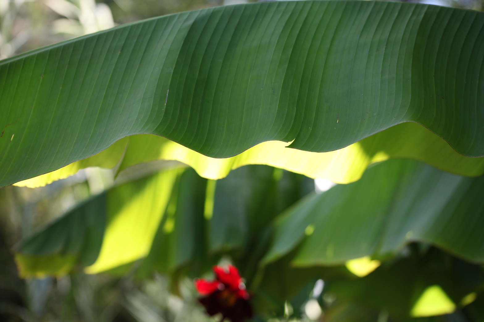 Light through banana leaves 1
