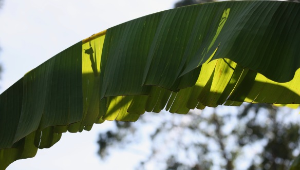 Light through banana leaves 2