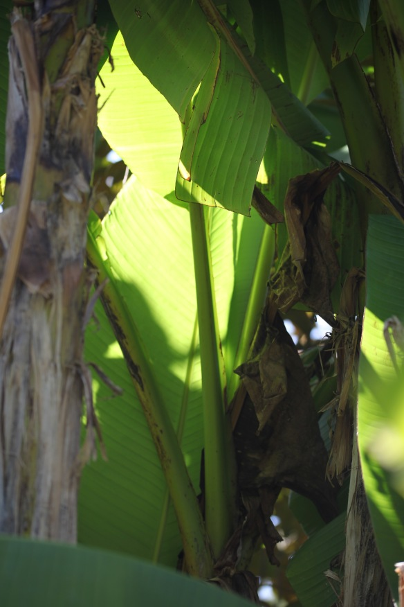 Light through banana leaves 4