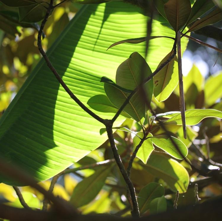 Light through banana leaves 5