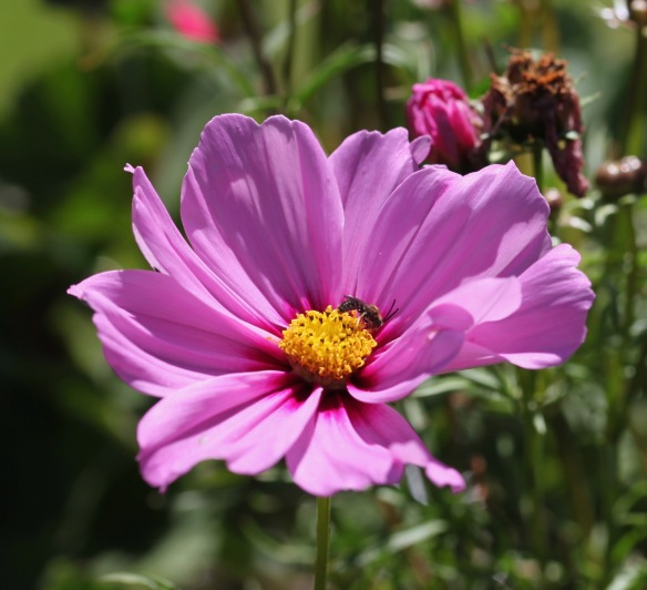 Insect on cosmos