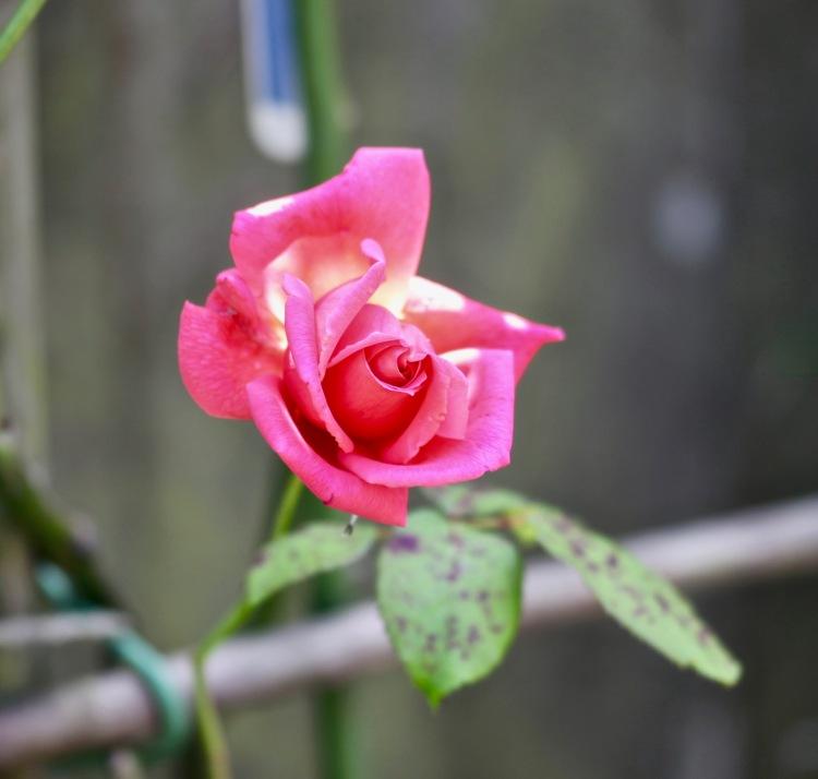 Rose pink climber
