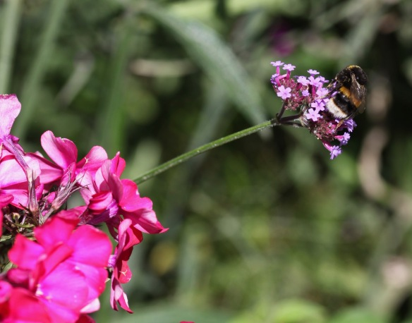 Bee on verbena bonarensis 1