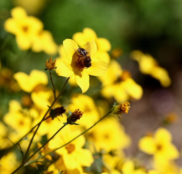 Bee on bidens