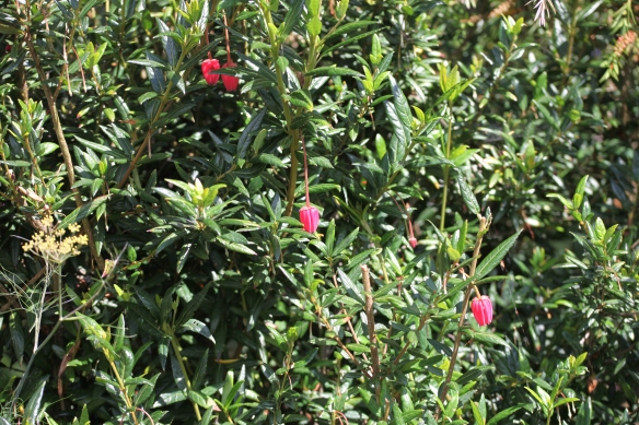 Chilean lantern bush