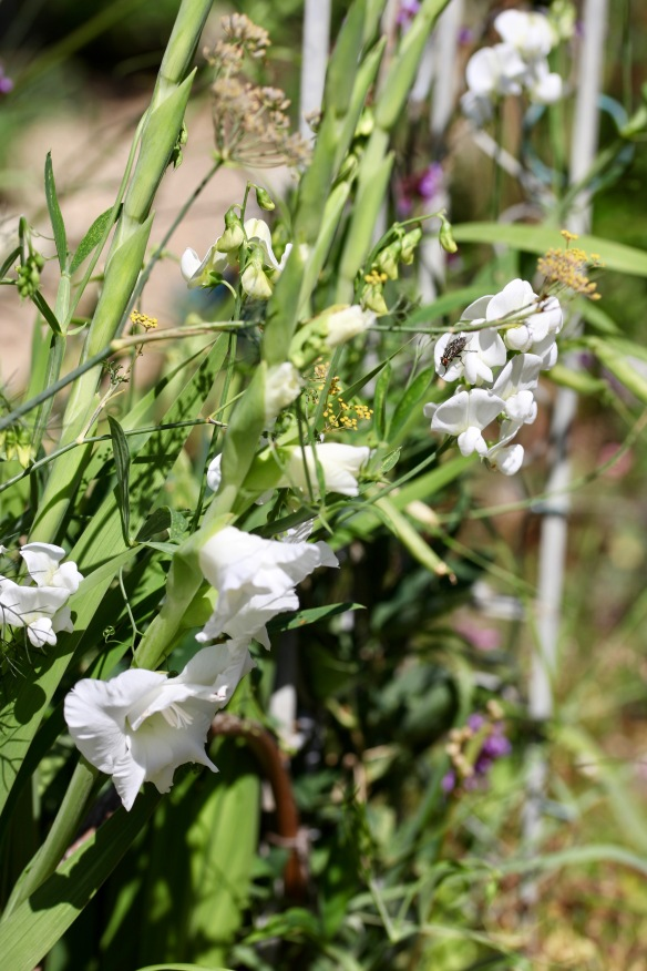 Fly on sweet pea, gladioli
