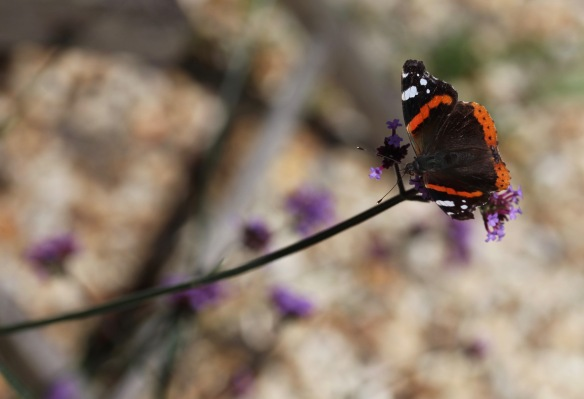 Red Admiral on verbena bonarensis