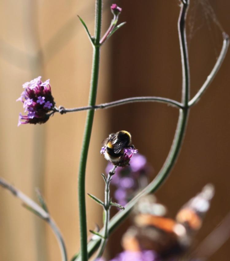 Bee on verbena bonarensis 2