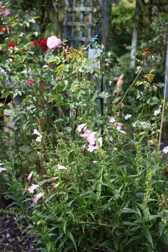 Penstemon and Festive Jewel