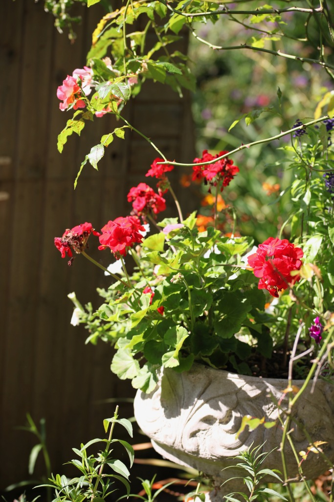 Geraniums and Summer Wine