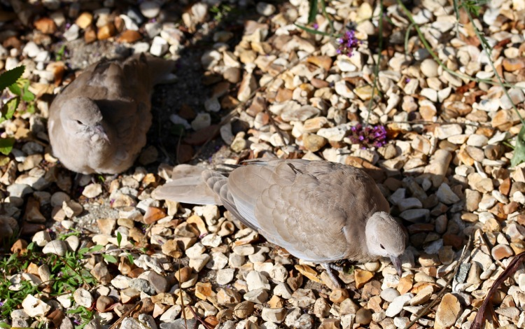 Collared doves juvenile 4